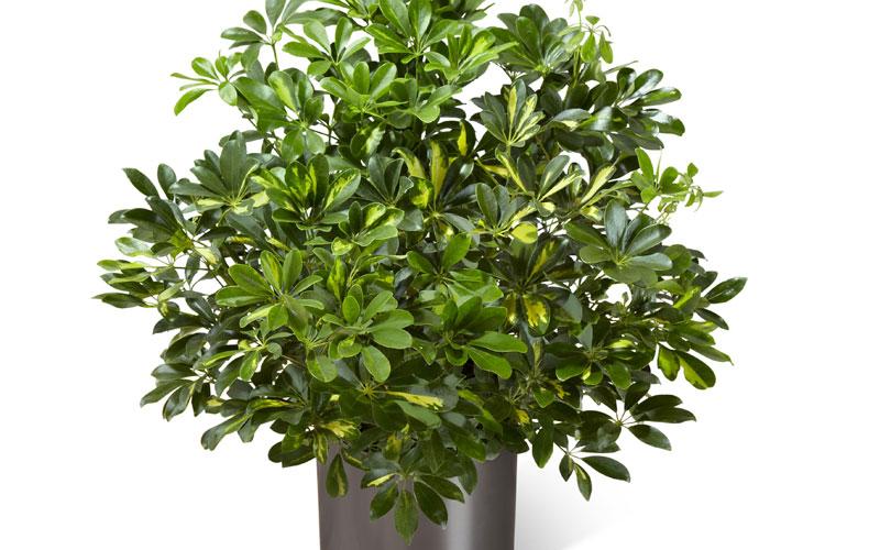 Kumaran nursery garden - Schefflera variegata ...
