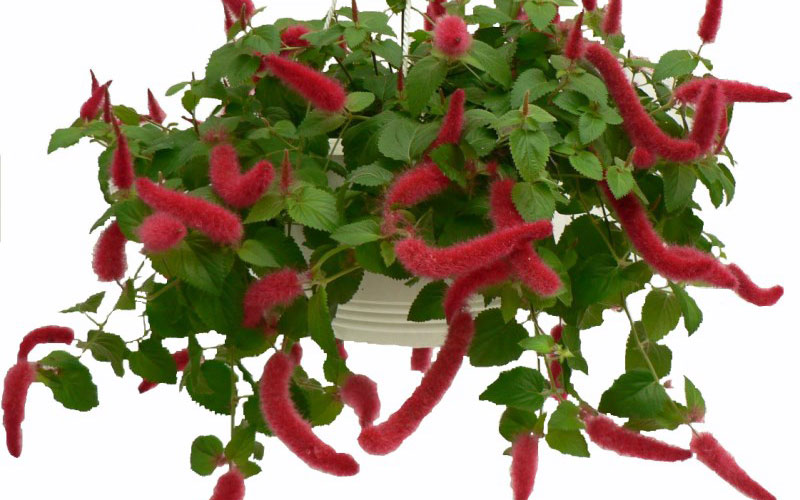 Acalypha Hispaniolae